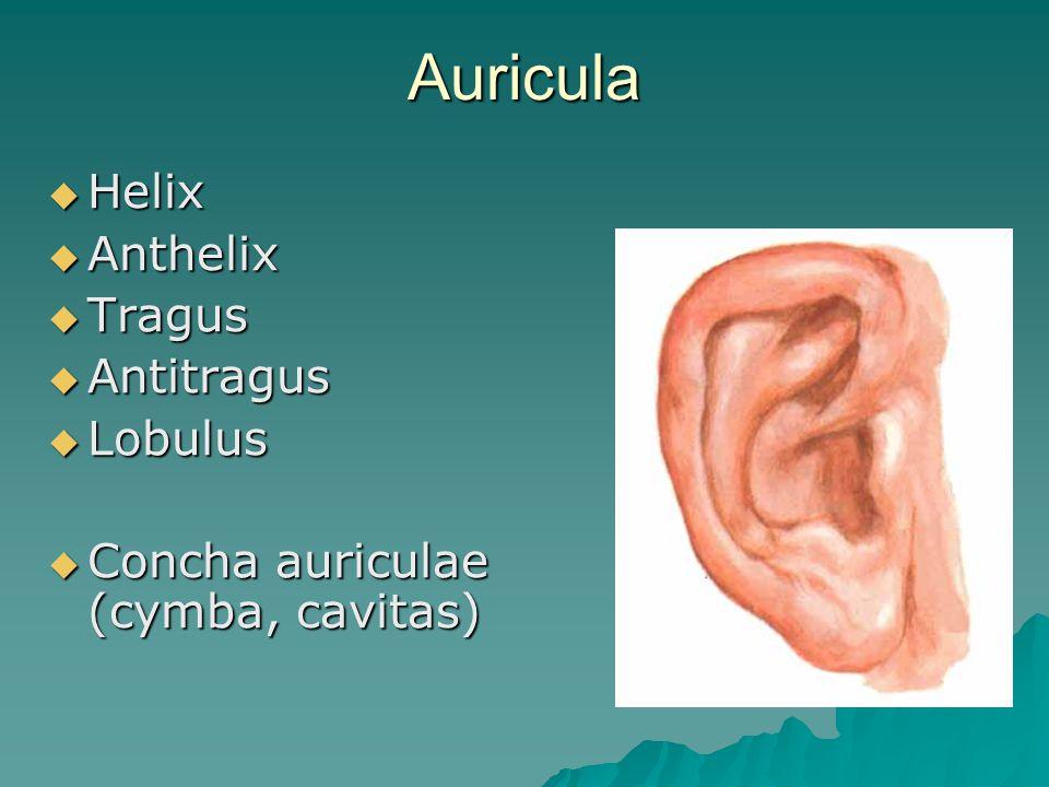 Auricula Helix Anthelix Tragus Antitragus Lobulus