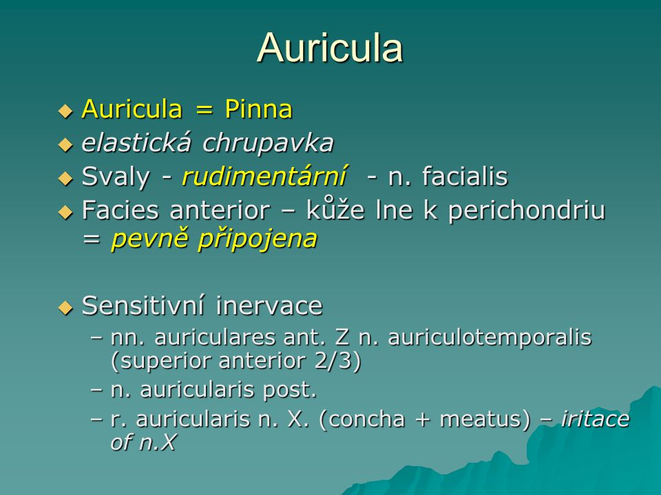 Auricula Auricula = Pinna elastická chrupavka