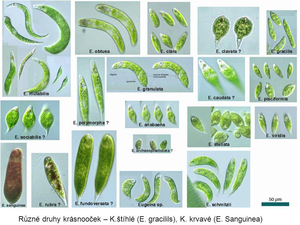 Různé druhy krásnooček – K. štíhlé (E. gracilils), K. krvavé (E