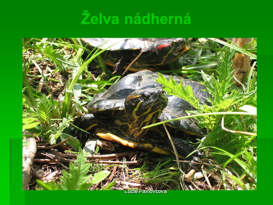 Želva nádherná Lucie Pavlovcová