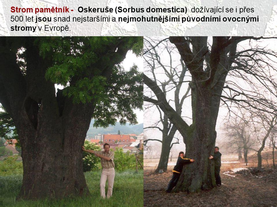 Strom pamětník - Oskeruše (Sorbus domestica) dožívající se i přes 500 let jsou snad nejstaršími a nejmohutnějšími původními ovocnými stromy v Evropě.