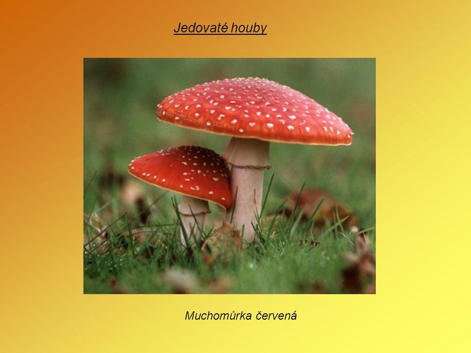 Jedovaté houby Muchomůrka červená