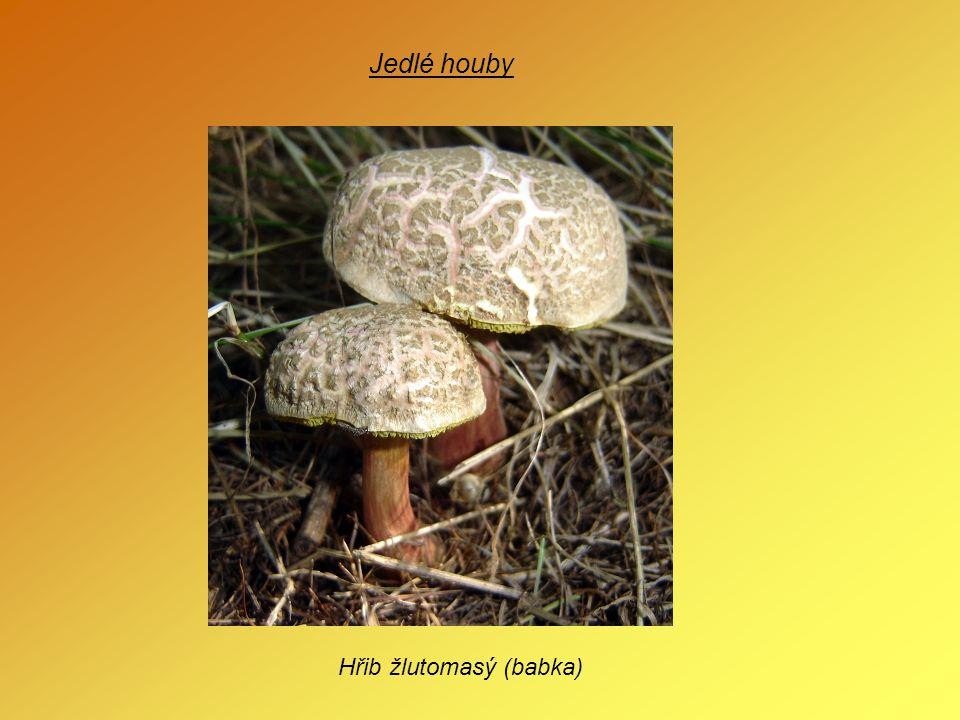 Jedlé houby Hřib žlutomasý (babka)
