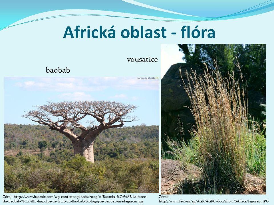 Africká oblast - flóra vousatice baobab