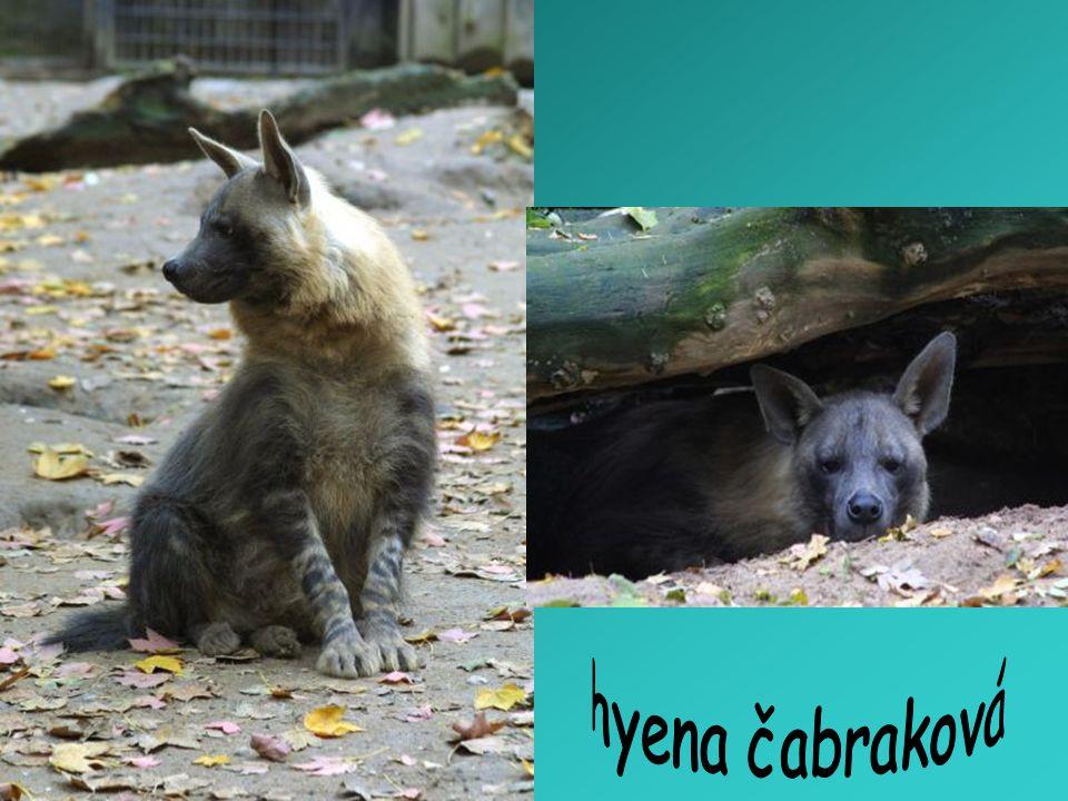 hyena čabraková