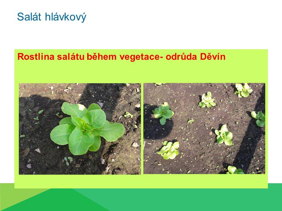 Salát hlávkový Rostlina salátu během vegetace- odrůda Děvín