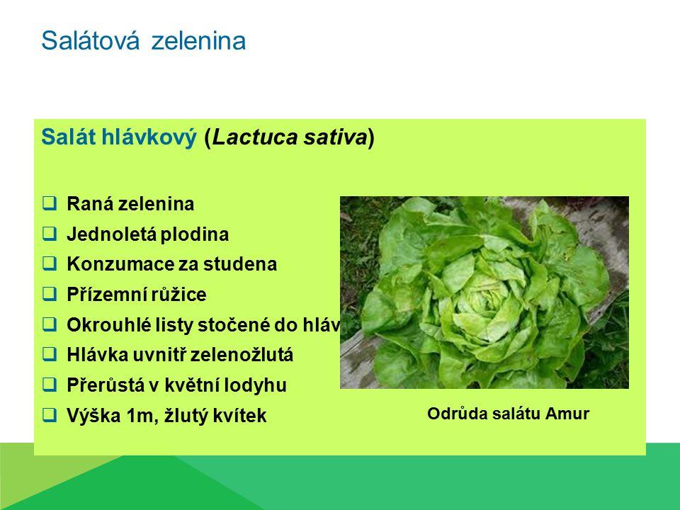 Salátová zelenina Salát hlávkový (Lactuca sativa) Raná zelenina