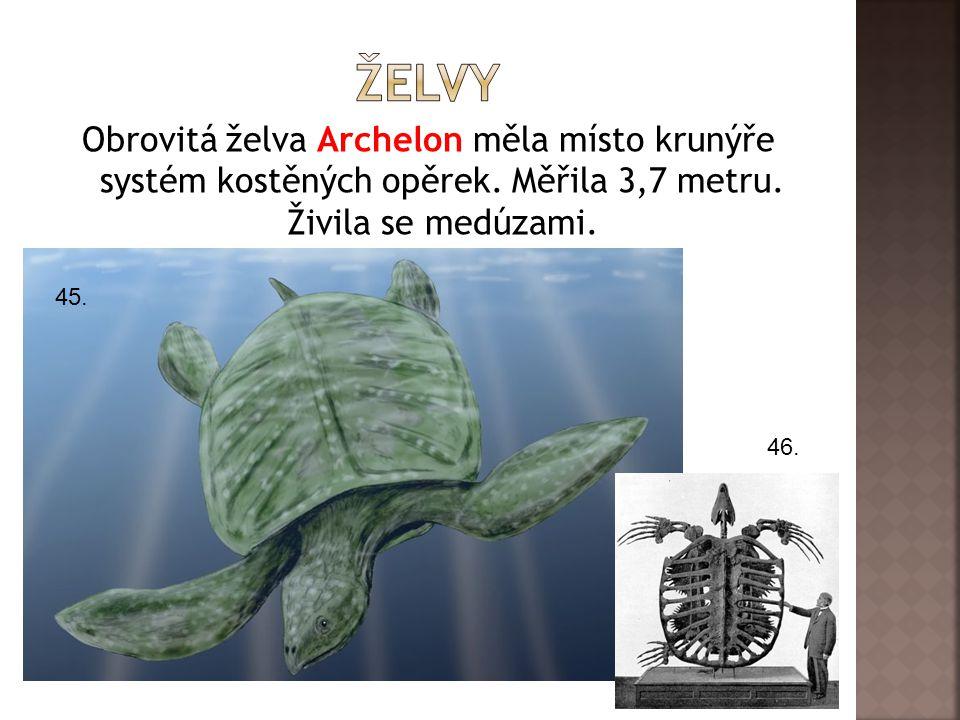 želvy Obrovitá želva Archelon měla místo krunýře systém kostěných opěrek. Měřila 3,7 metru. Živila se medúzami.