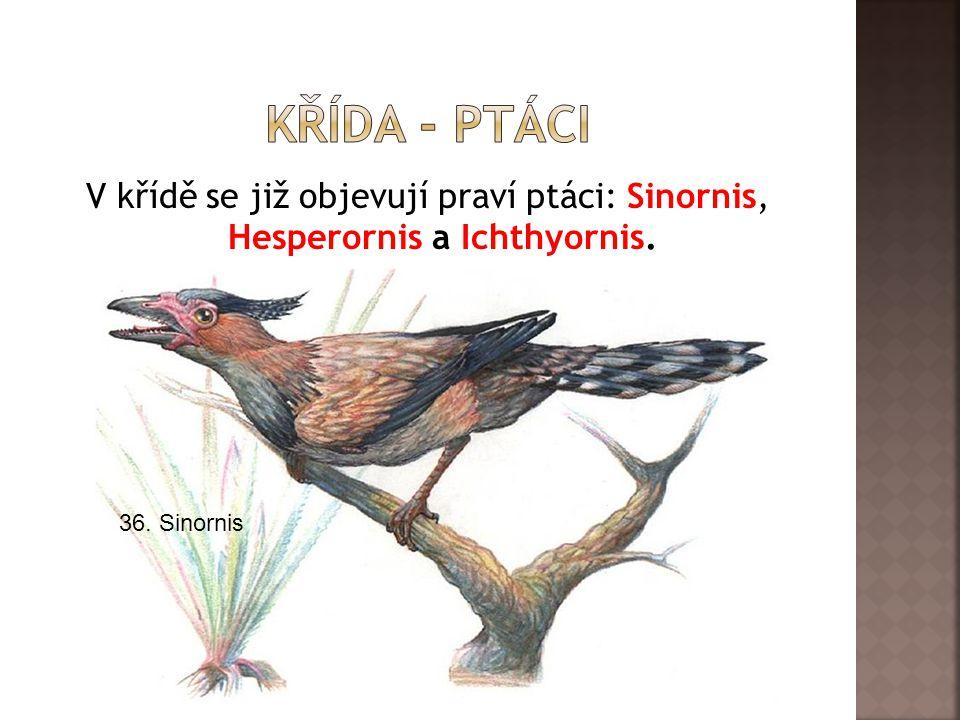 Křída - ptáci V křídě se již objevují praví ptáci: Sinornis, Hesperornis a Ichthyornis.