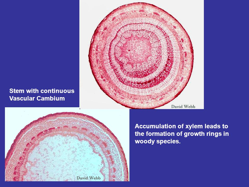 Stem with continuous Vascular Cambium