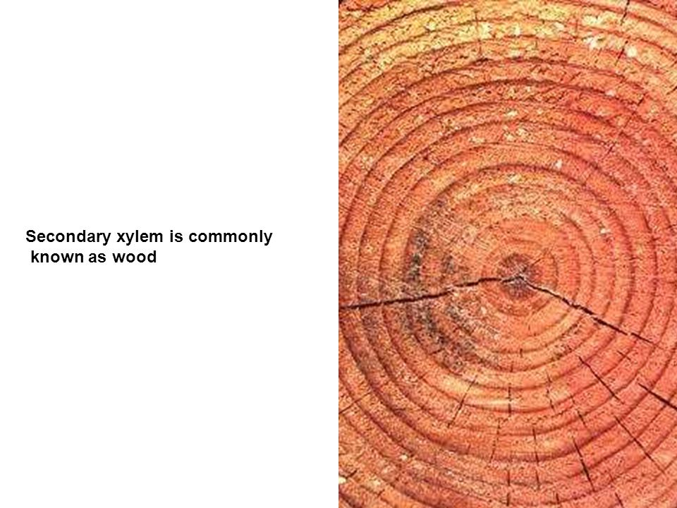 Secondary xylem is commonly