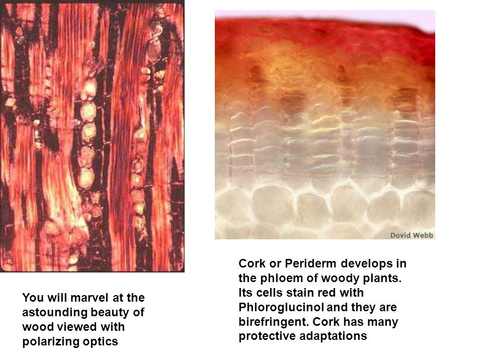 Cork or Periderm develops in the phloem of woody plants