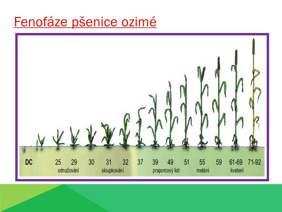 Fenofáze pšenice ozimé
