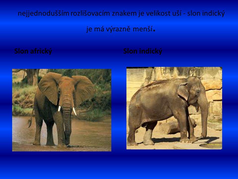 nejjednodušším rozlišovacím znakem je velikost uší - slon indický je má výrazně menší.