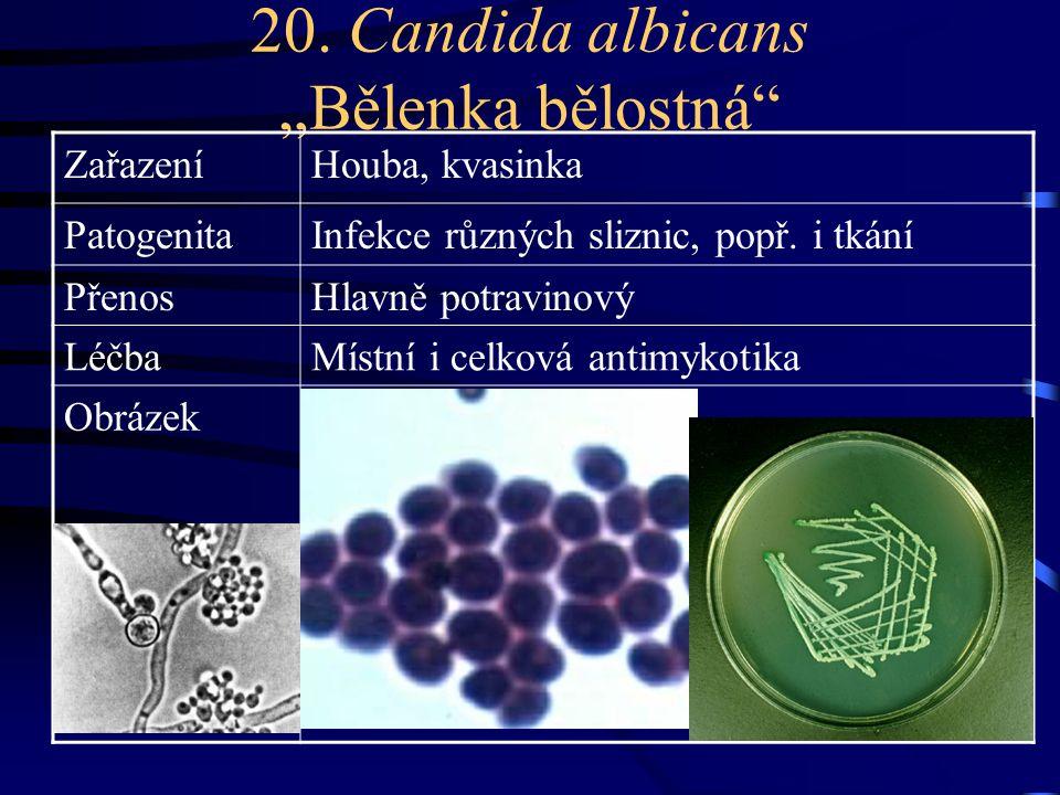 """20. Candida albicans """"Bělenka bělostná"""