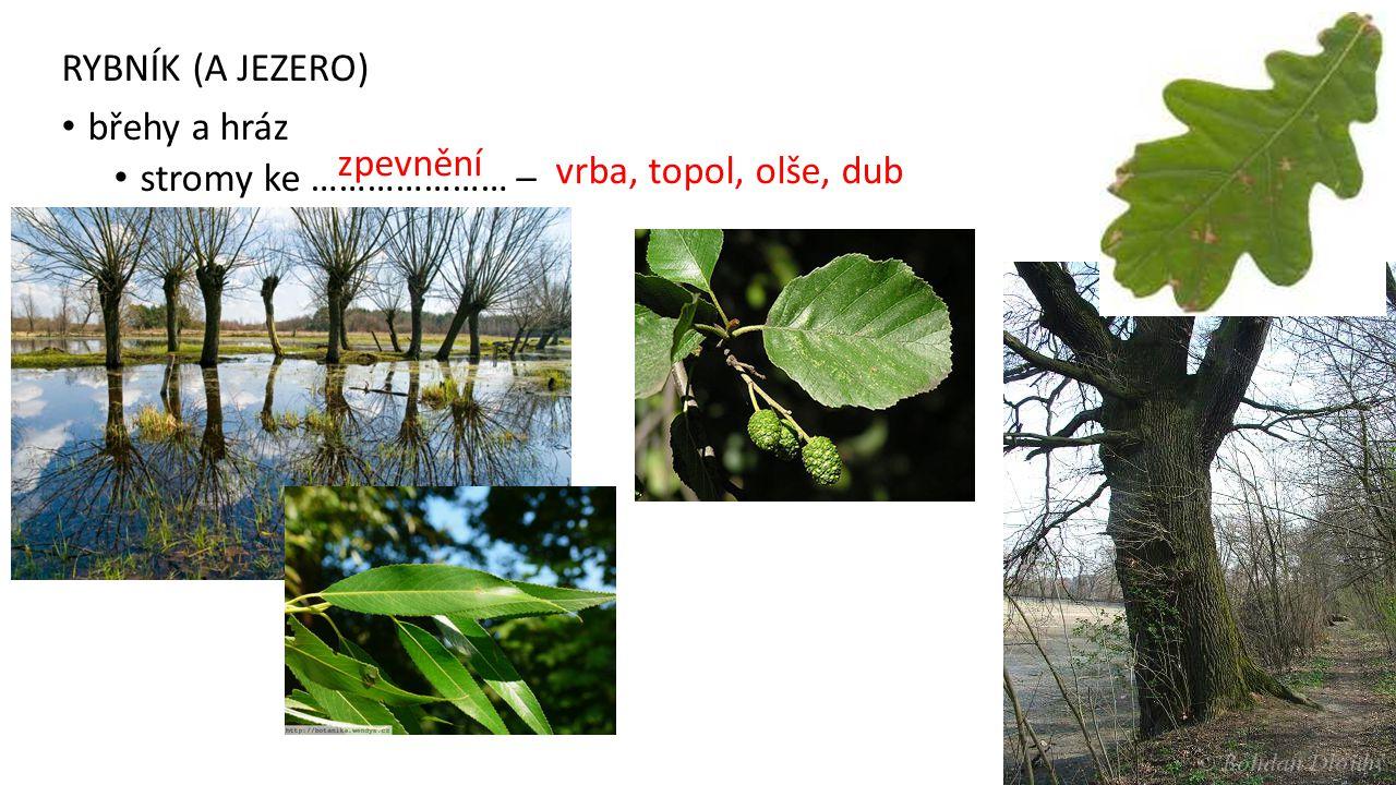 RYBNÍK (A JEZERO) břehy a hráz stromy ke ………………… – zpevnění vrba, topol, olše, dub