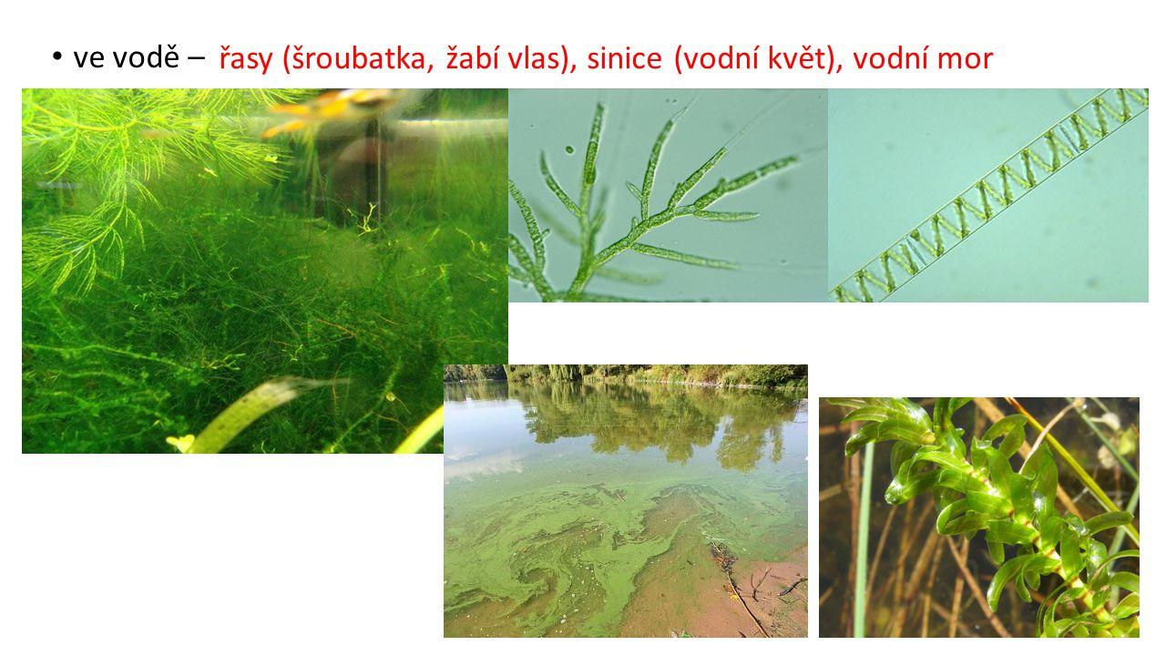ve vodě – řasy (šroubatka, žabí vlas), sinice (vodní květ), vodní mor