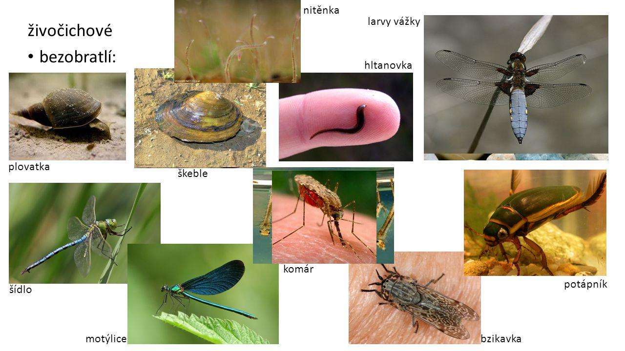 živočichové bezobratlí: nitěnka larvy vážky hltanovka plovatka škeble