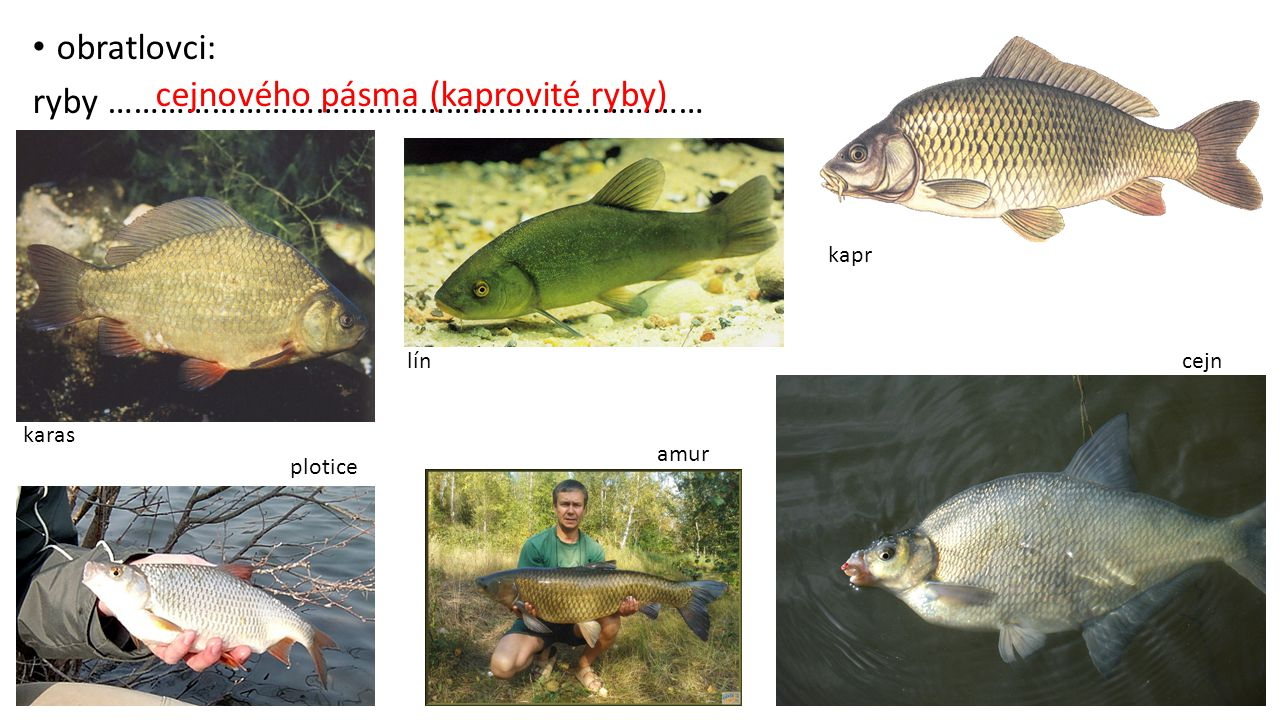 ryby …………………………………………………………… cejnového pásma (kaprovité ryby)