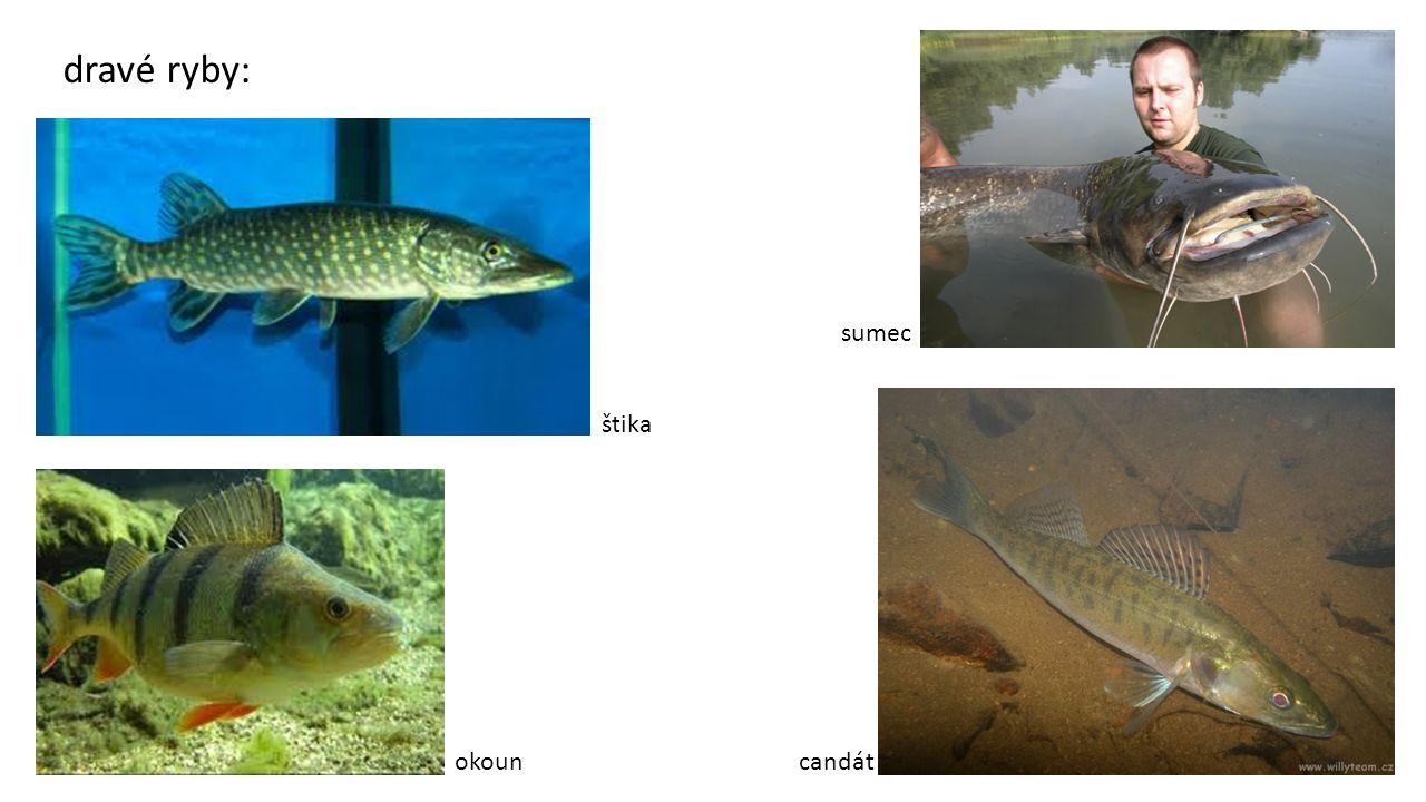 dravé ryby: sumec štika okoun candát