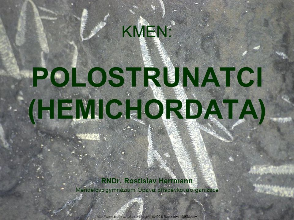 KMEN: POLOSTRUNATCI (HEMICHORDATA)
