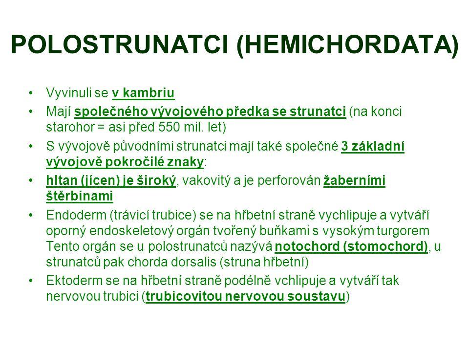 POLOSTRUNATCI (HEMICHORDATA)