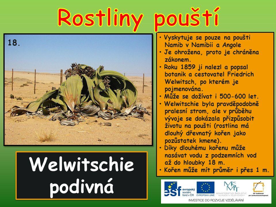 Rostliny pouští Welwitschie podivná 18.