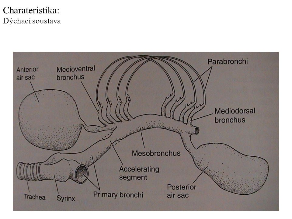Charateristika: Dýchací soustava