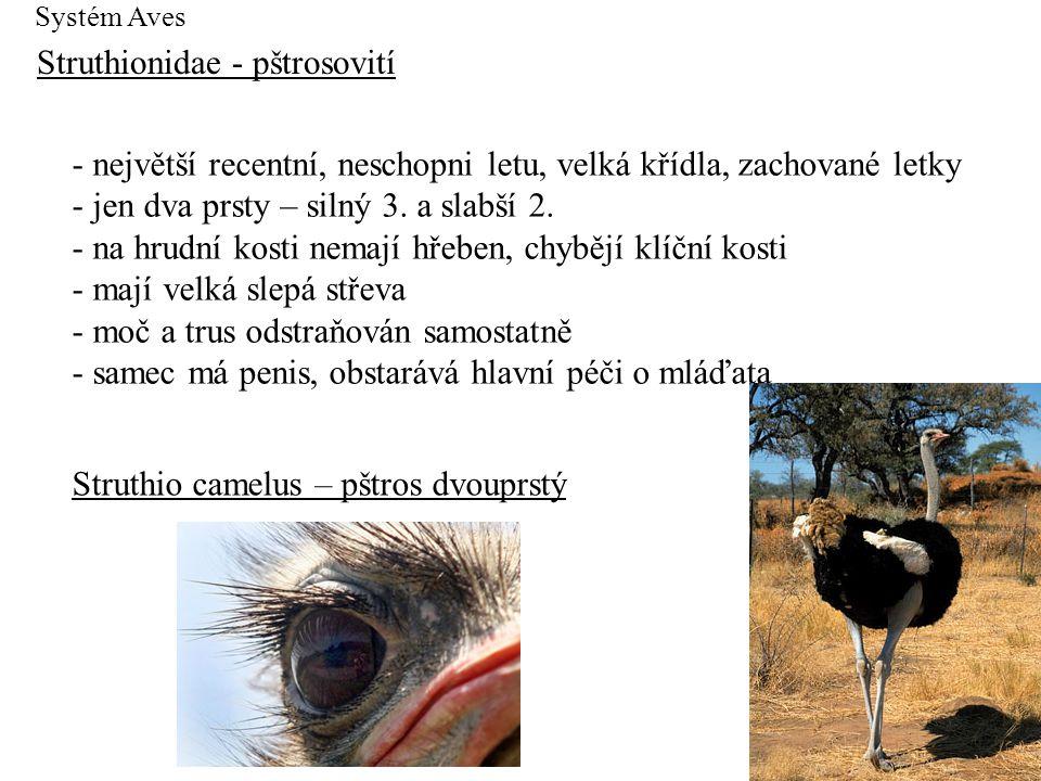 Struthionidae - pštrosovití