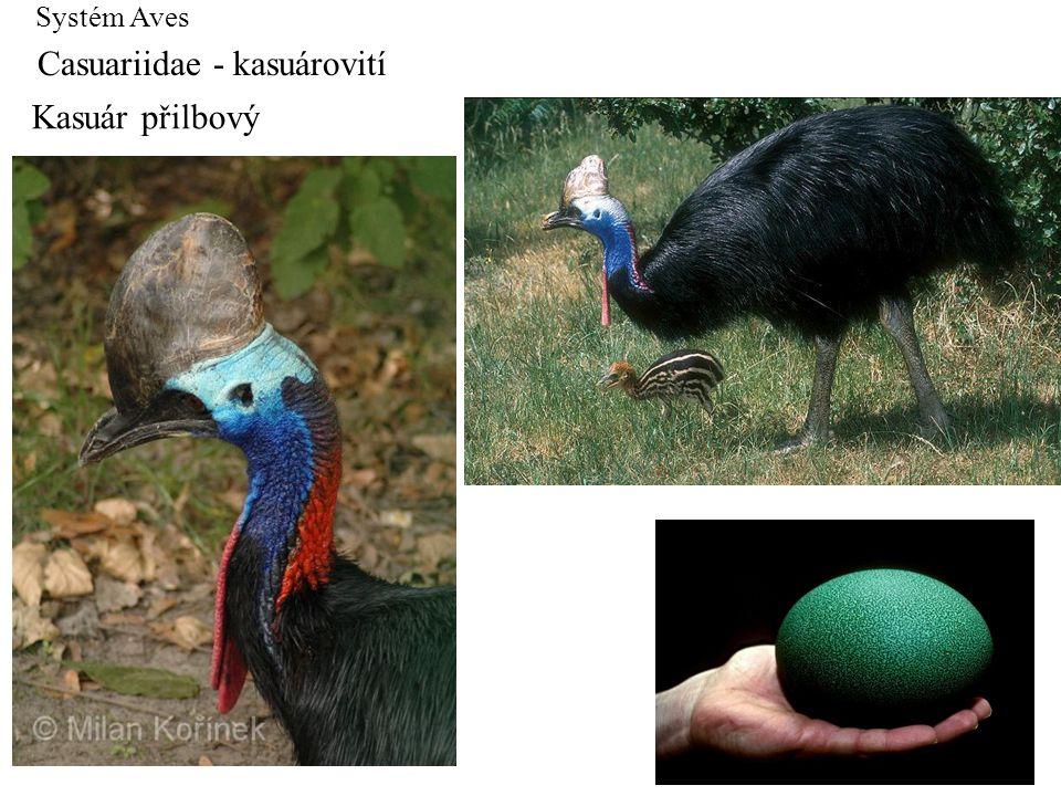 Casuariidae - kasuárovití