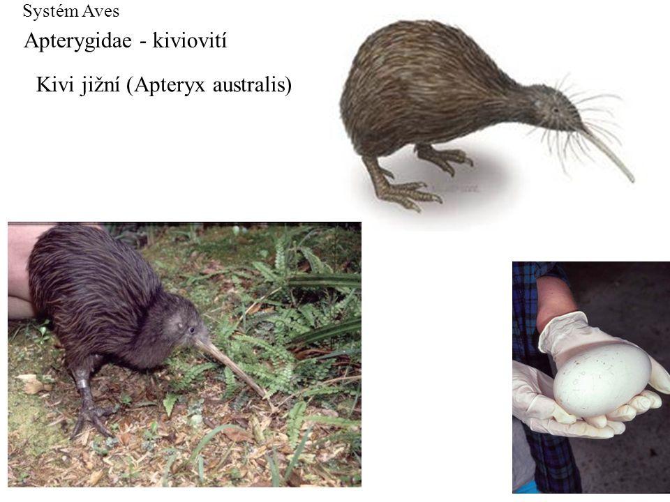 Apterygidae - kiviovití