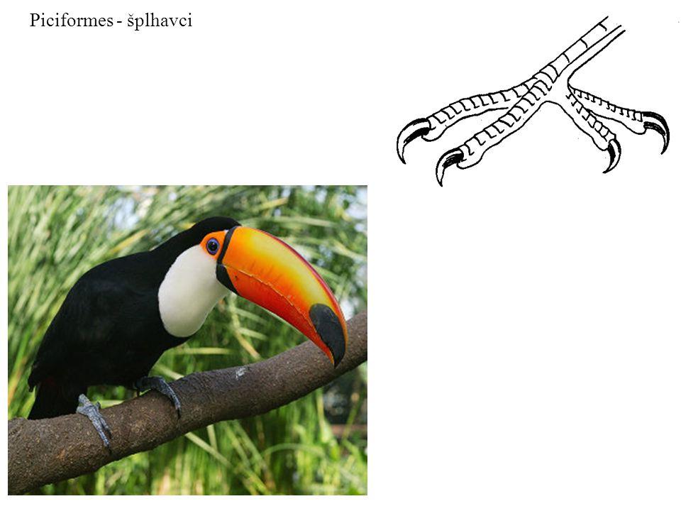 Piciformes - šplhavci