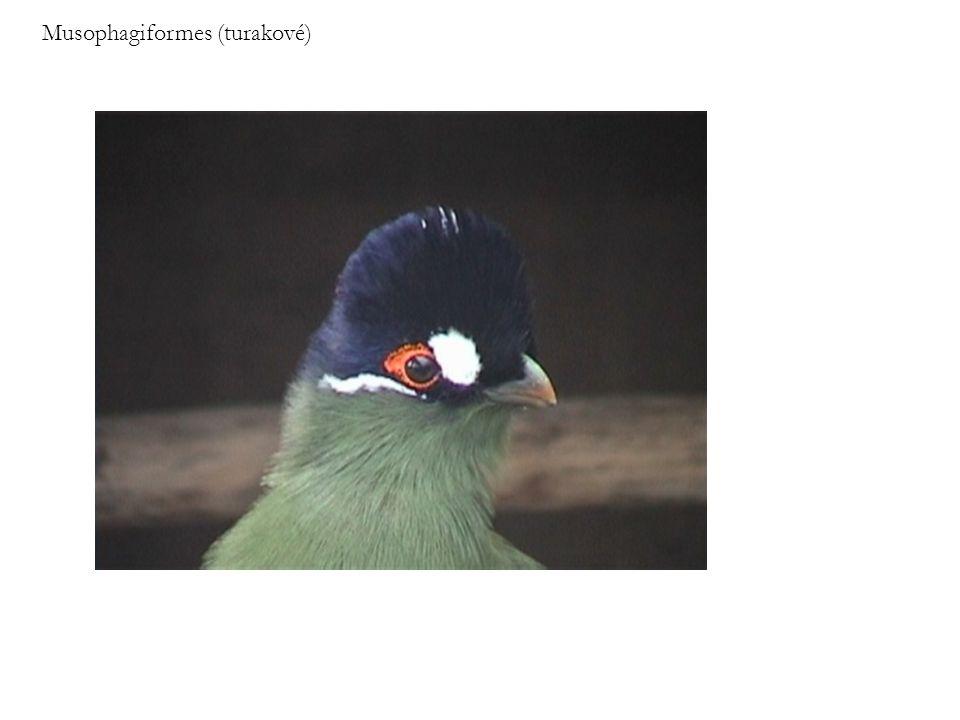 Musophagiformes (turakové)
