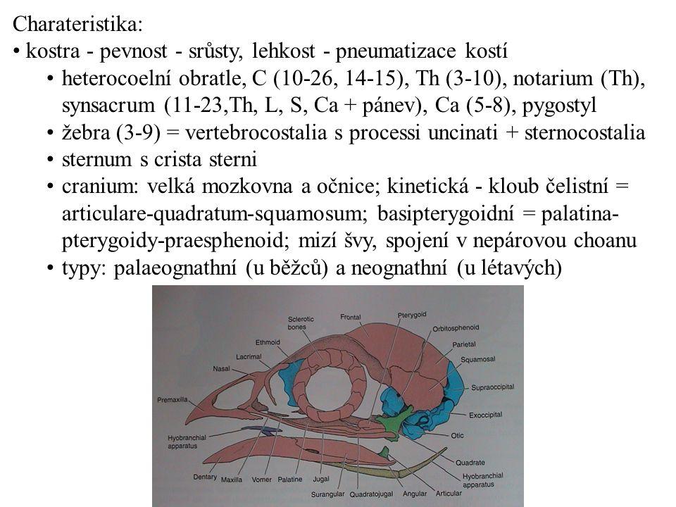 Charateristika: kostra - pevnost - srůsty, lehkost - pneumatizace kostí.