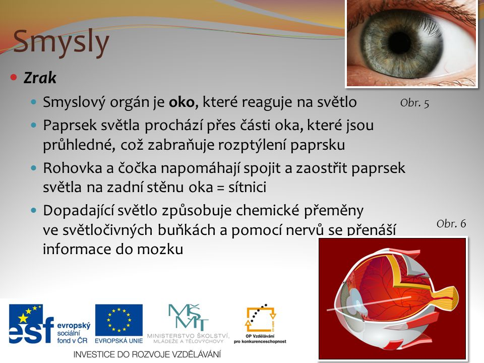 Smysly Zrak Smyslový orgán je oko, které reaguje na světlo