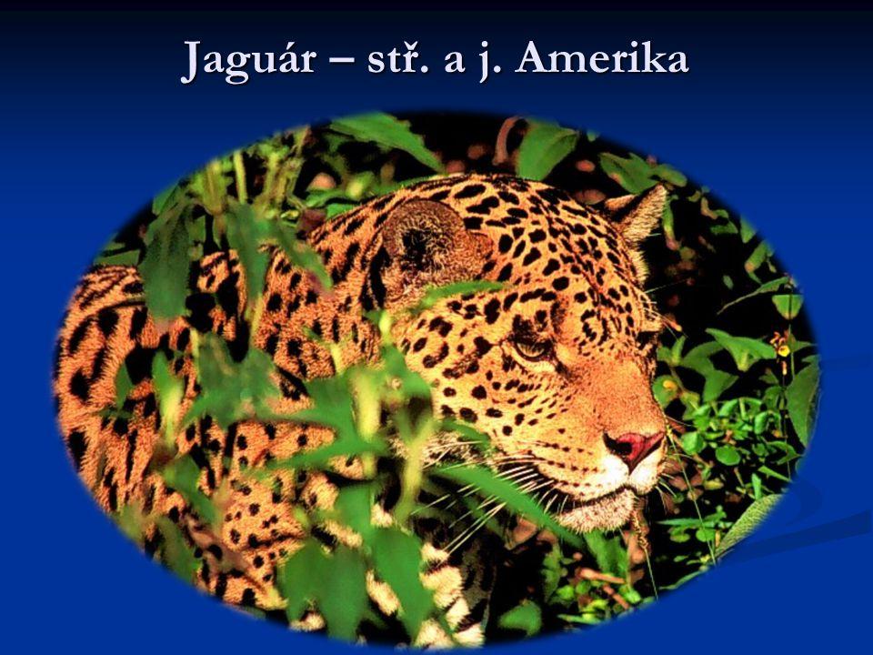 Jaguár – stř. a j. Amerika