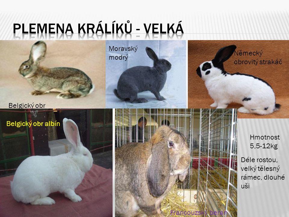 Plemena králíků - velká