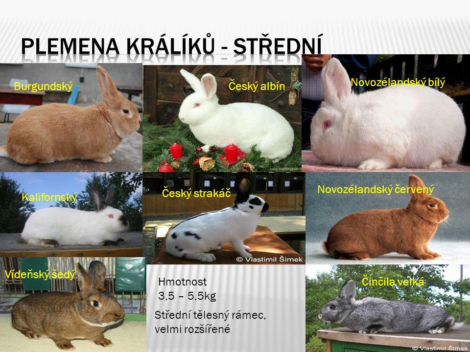 Plemena králíků - střední