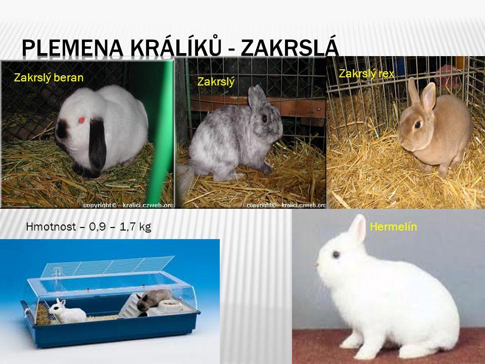 Plemena králíků - zakrslá