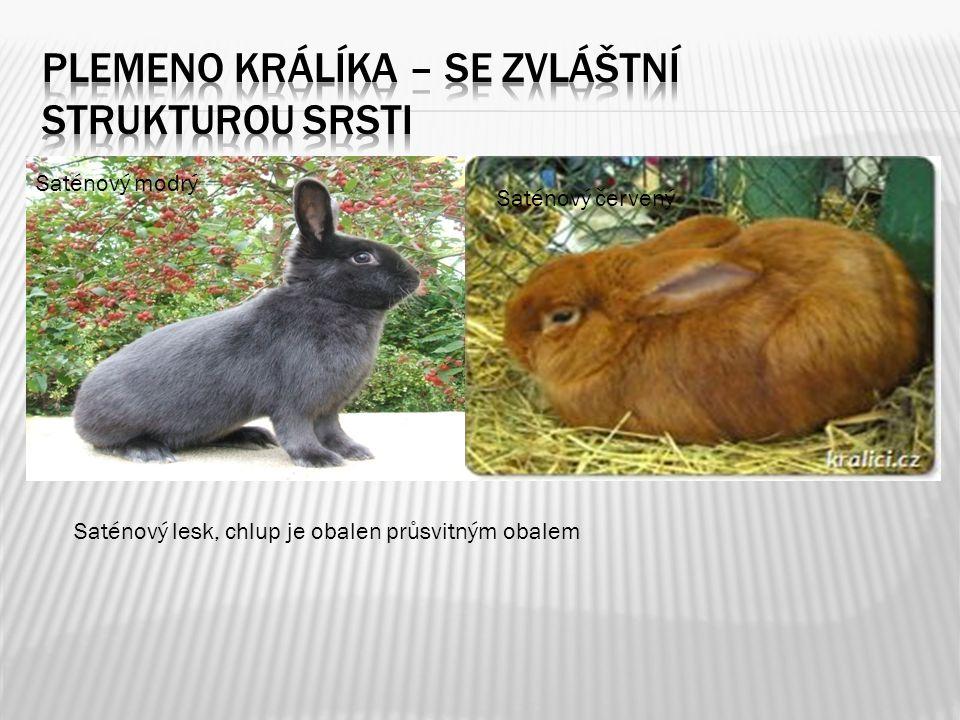 Plemeno králíka – se zvláštní strukturou srsti