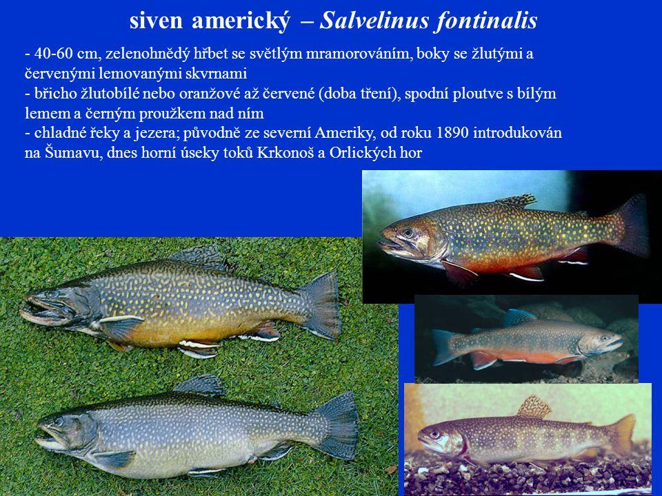 siven americký – Salvelinus fontinalis