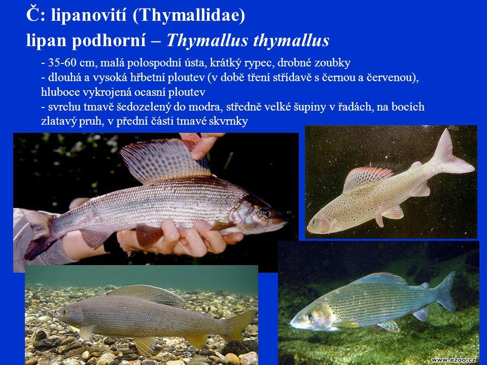 Č: lipanovití (Thymallidae) lipan podhorní – Thymallus thymallus