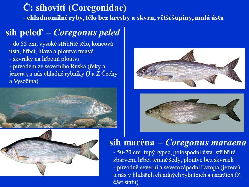 Č: síhovití (Coregonidae)