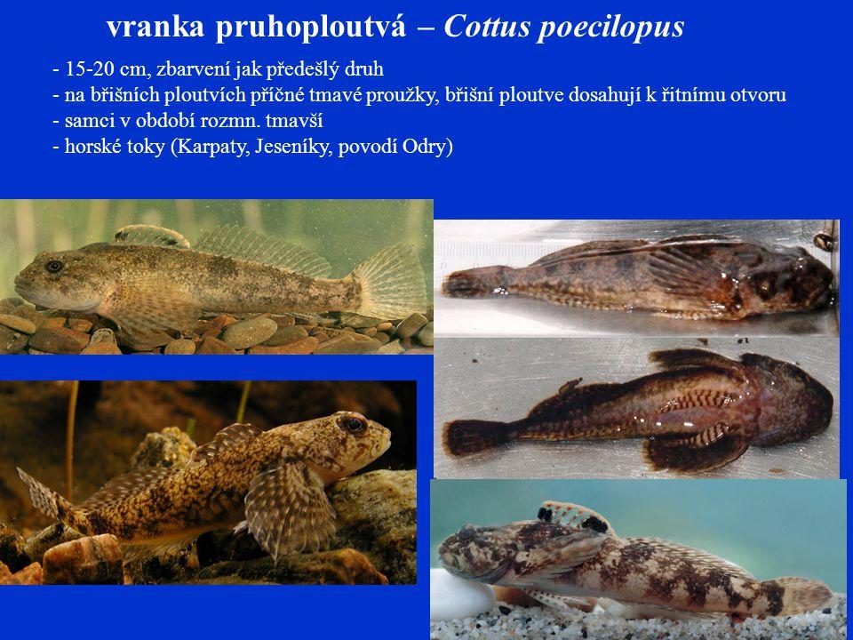 vranka pruhoploutvá – Cottus poecilopus