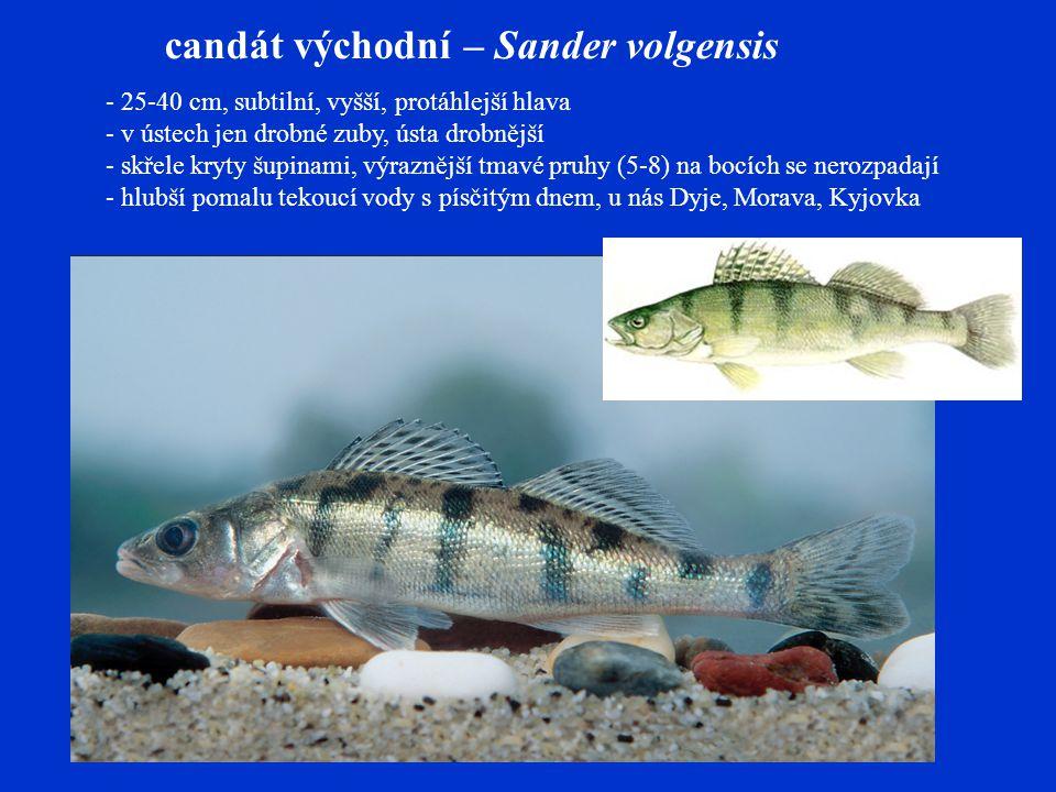 candát východní – Sander volgensis