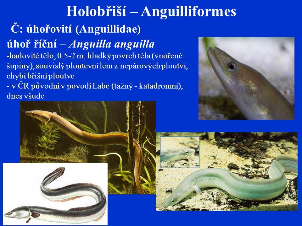 Holobřiší – Anguilliformes
