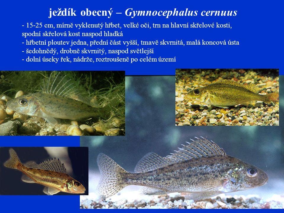 ježdík obecný – Gymnocephalus cernuus