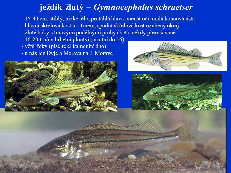 ježdík žlutý – Gymnocephalus schraetser