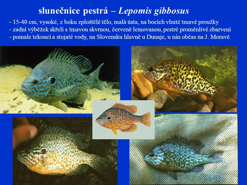 slunečnice pestrá – Lepomis gibbosus