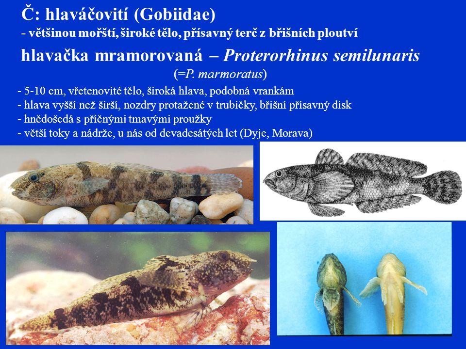 hlavačka mramorovaná – Proterorhinus semilunaris (=P. marmoratus)